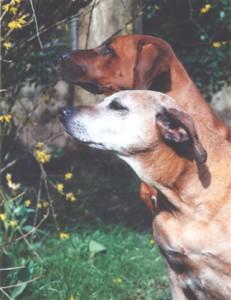 Das schlohweisse Gesicht der Hündin Alama ya Simba (1988 in Tansania geboren) strahlt viel Würde aus. Simba wurde über 14 Jahre alt, ein Ausnahme-Alter für einen Ridgeback. Das Bild zeigt sie mit ihrer Freundin SHANGANI Binti Bahati, Europasiegerin 2001. (Foto Annemarie Schmidt-Pfister)