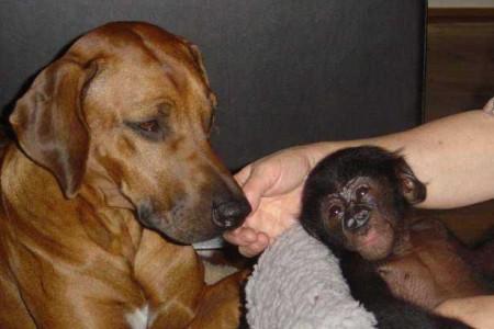 AMATONGA mit dem kleinen Bonobo KELELE aus dem Zoo Frankfurt