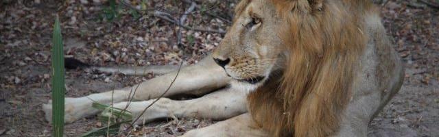 Xam-Arib – die Legende vom Geschenk des Löwen