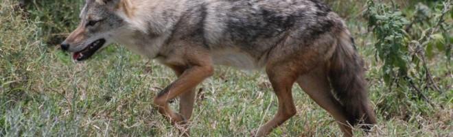 Caniden-Migration: Nach den Wölfen kommen jetzt Schakale