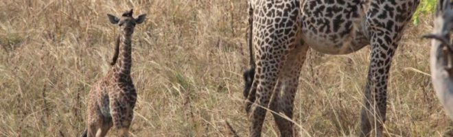 Geburt im Galeriewald  /  Safari-Notizen aus Tanzania (II)