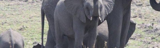 Ohren wie Afrika-Karten / Safari-Notizen aus Tanzania (IV)