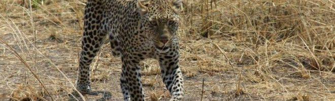 Die Jagd der Leopardin / Safari-Notizen aus Tanzania (VIII)