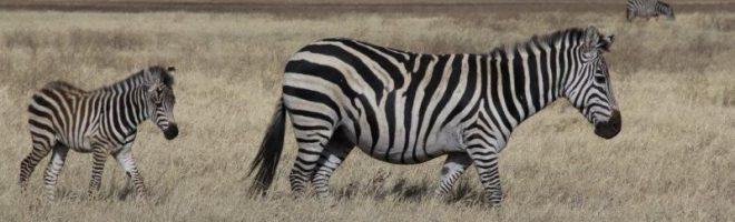 Schwarz auf Weiss! Oder Weiss auf Schwarz? / Safari-Notizen aus Tanzania (V)