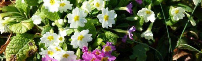 Frühlingsboten im Horngarten