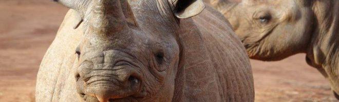 Rafiki wa faru: Die letzten Nashörner brauchen Hilfe!