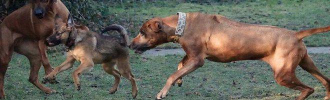Wenn Hunde spielen…