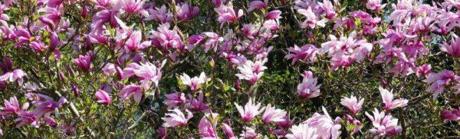 Unser Horngarten im April: Ein Blütentraum