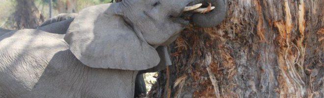 Nur Elefanten sollen Elfenbein tragen!