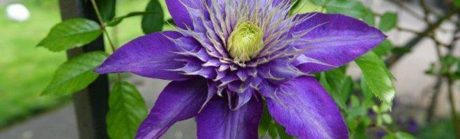Die blaue Blume der Dichter