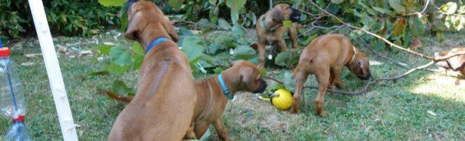 Busch-Hunde – fast wie einst