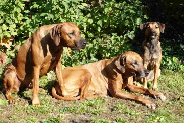 Gemischtes Trio - die Ridgebacks Daymani und Buyuni mit der Österreichischen Pinscherin Sisi (v.l.n.r.)