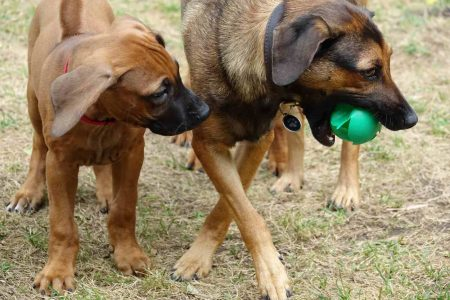 Von Nanny Sisi lernen die jungen Ridgebacks das Ballspiel.